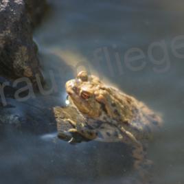 Wasserkröte