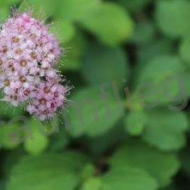 Blumendolde